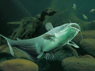Freshwater channel catfish